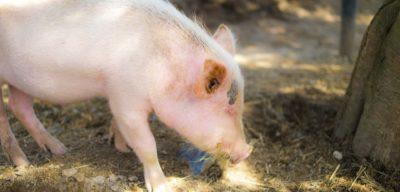 枯草菌含有飼料 子豚