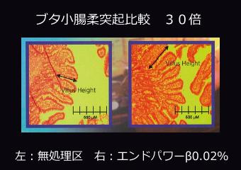 ブタ小腸柔突起比較